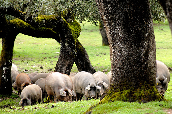Fotografía ganadora del II Concurso de Fotografía organizado por II Concurso de Fotografía El Cerdo Ibérico organizado por el Museo del Jamón de Monesterio.